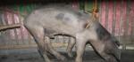 Penangkapan Babi Ngepet di Mojosongo Solo Hebohkan Warga