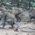 Ribuan Kera Serbu Desa Sanggang, Sukoharjo